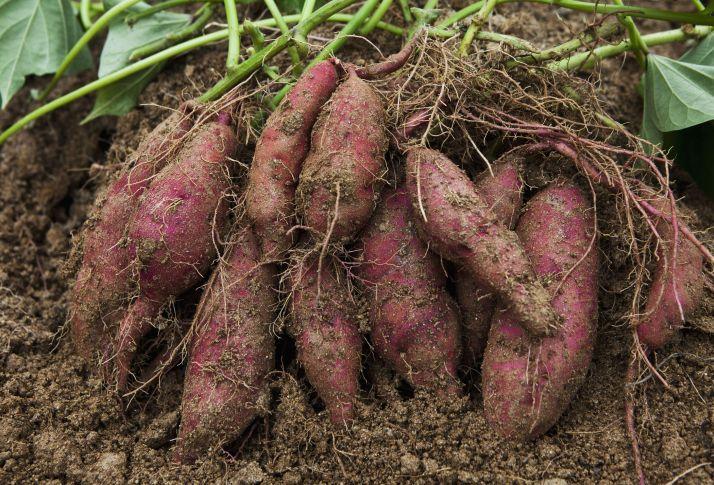 Sweet Potatoes (Ipomoea batatas)321