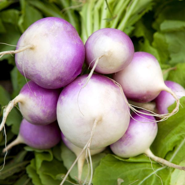 Pink/White/Red Turnips (Brassica rapa)1