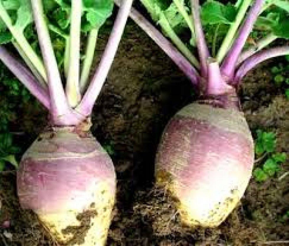 Rutabaga (Brassica napus)53