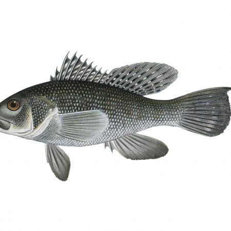 Black-sea-bass