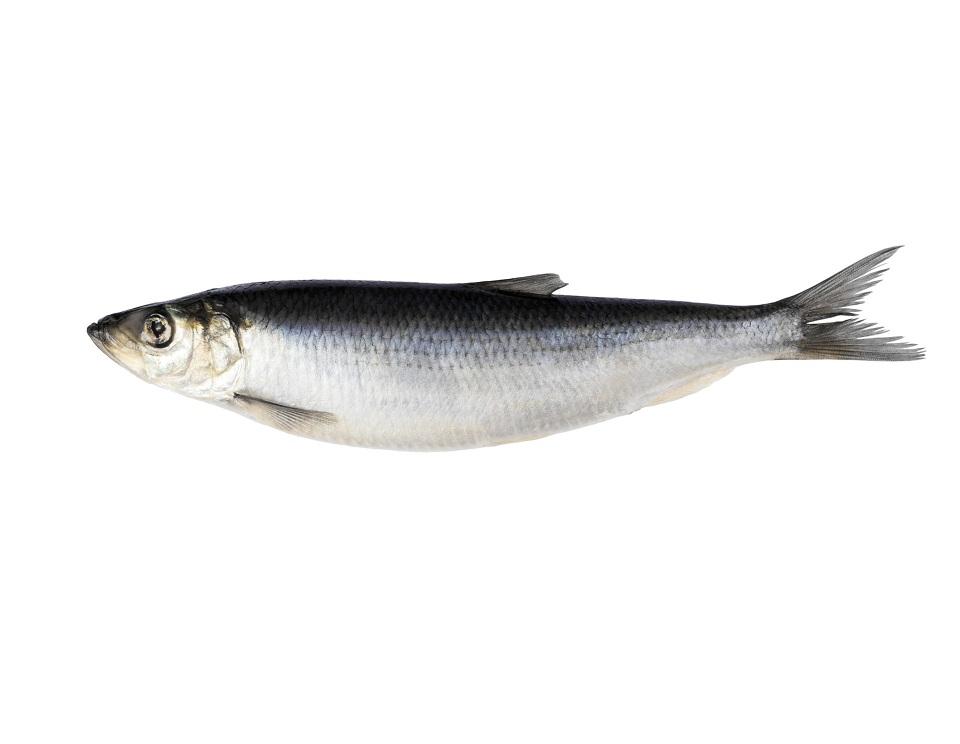 Herring-Fish
