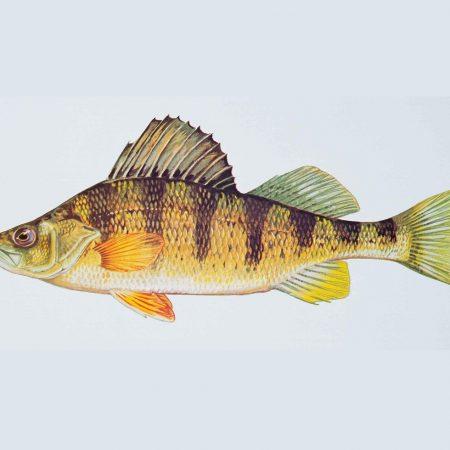 Yellow_perch_fish_perca_flavescens_0