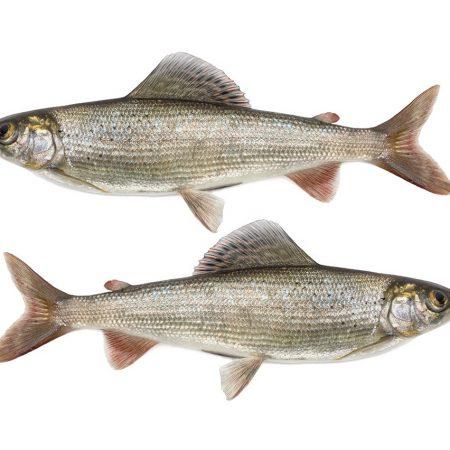 grayling-fish-species