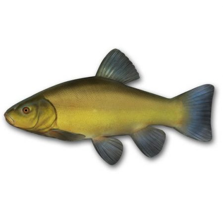 photo-of-tench
